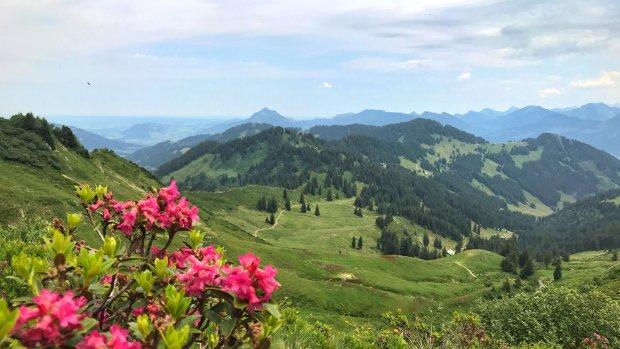 Alpenrosen am Riedbergerhorn