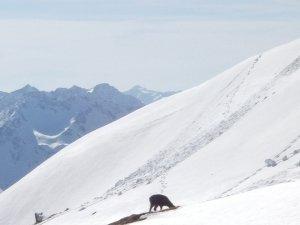 Gemsen am Winterwanderweg im Nebelhorngebiet