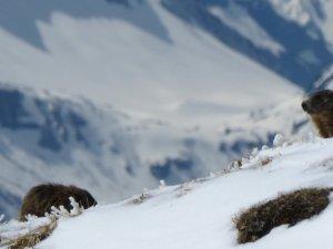 29 April: Neuschnee für die letzten Ski-Tage am Nebelhorn. Dieser Murmeltierfamilie kann er nichts mehr anhaben.