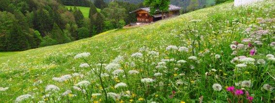 Jetzt auch Frühling in Gerstruben, an der Alpe Dietersbach blueht erst jetzt der Löwenzahn