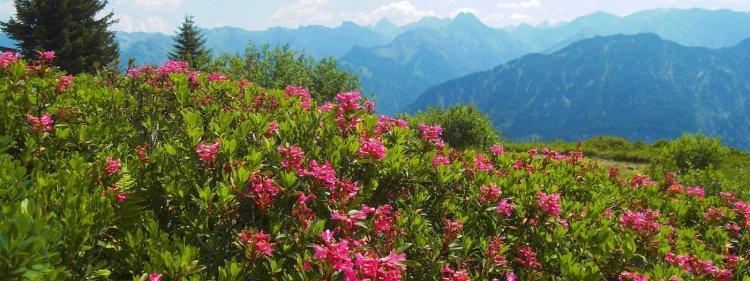 Alpenrosen Fellhorn-Soellereck