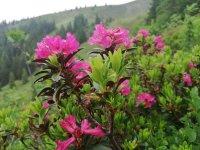 Alpenrosen auf dem Wertacher Hörnle