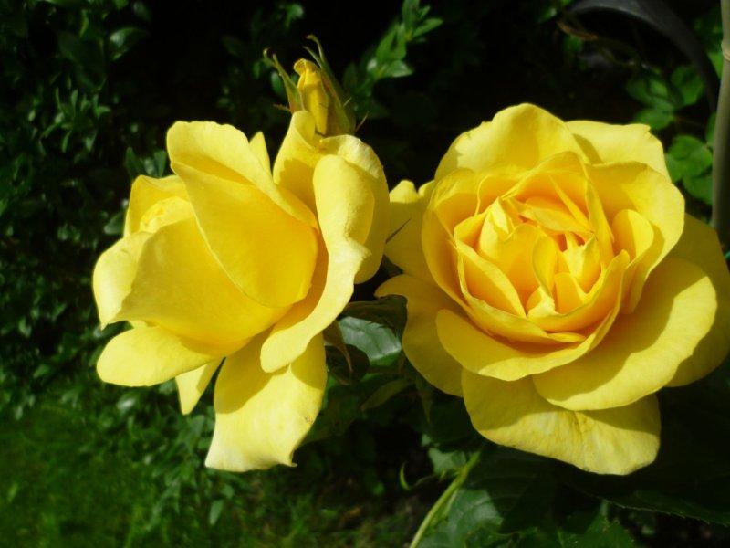 Rosen laden ein
