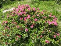 Alpenrosen im Juni