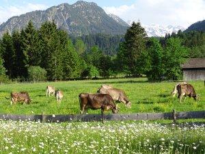 Kühe vom Möserhof