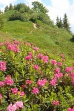 Die Alpenrosenblüte - ein feuriges Naturschauspiel