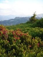 Alpenrosenblüte am Riedbergerhorn