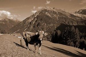 Eine Kuh macht muuhh - viele Kühe machen Mühe