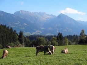 Kühe mit Berge