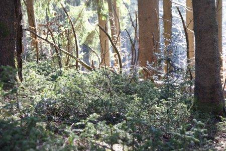 Hauberswald Bäumchen 18.3