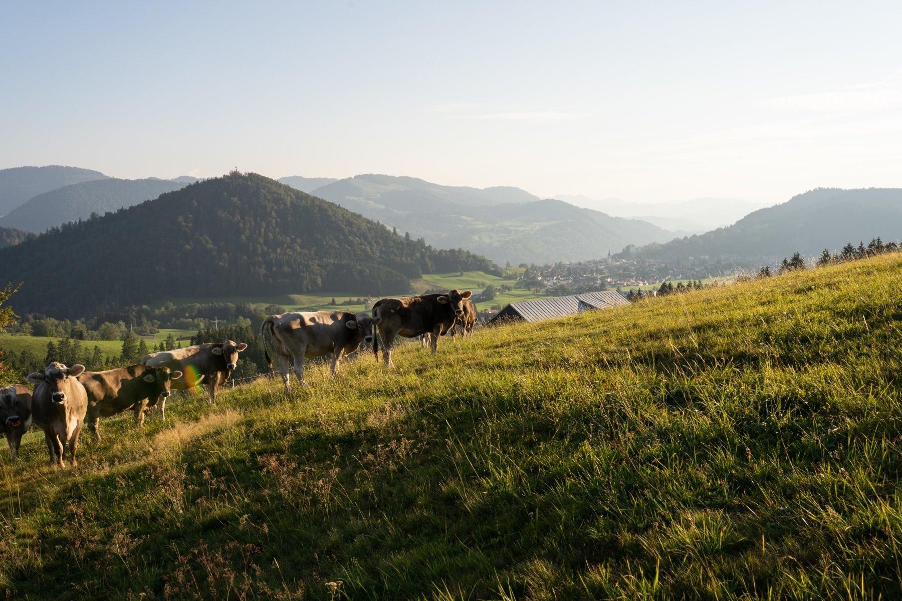 Kühe Herbstweide