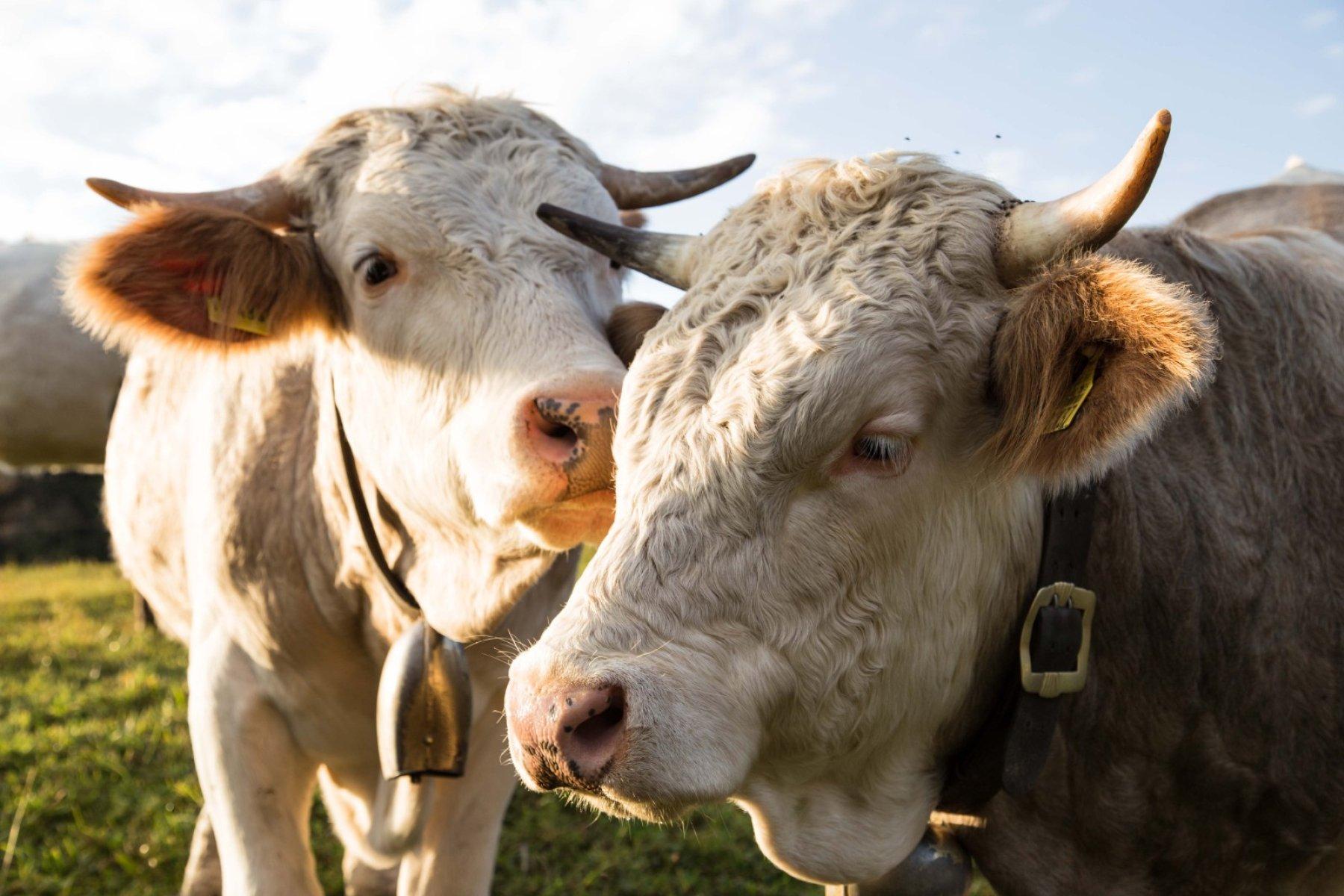 Kühe auf Haubers Alpenresort