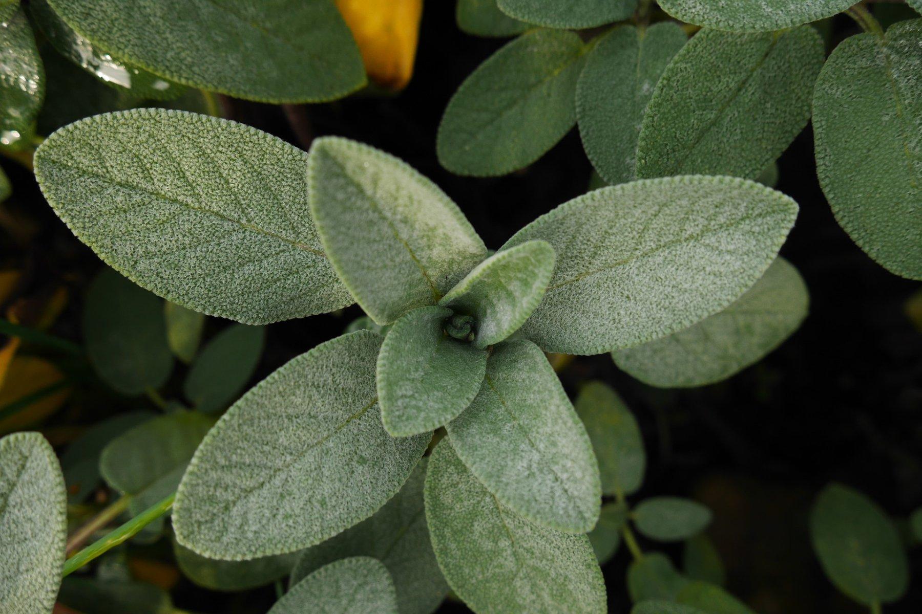 Salbeiblätter frisch aus der Natur