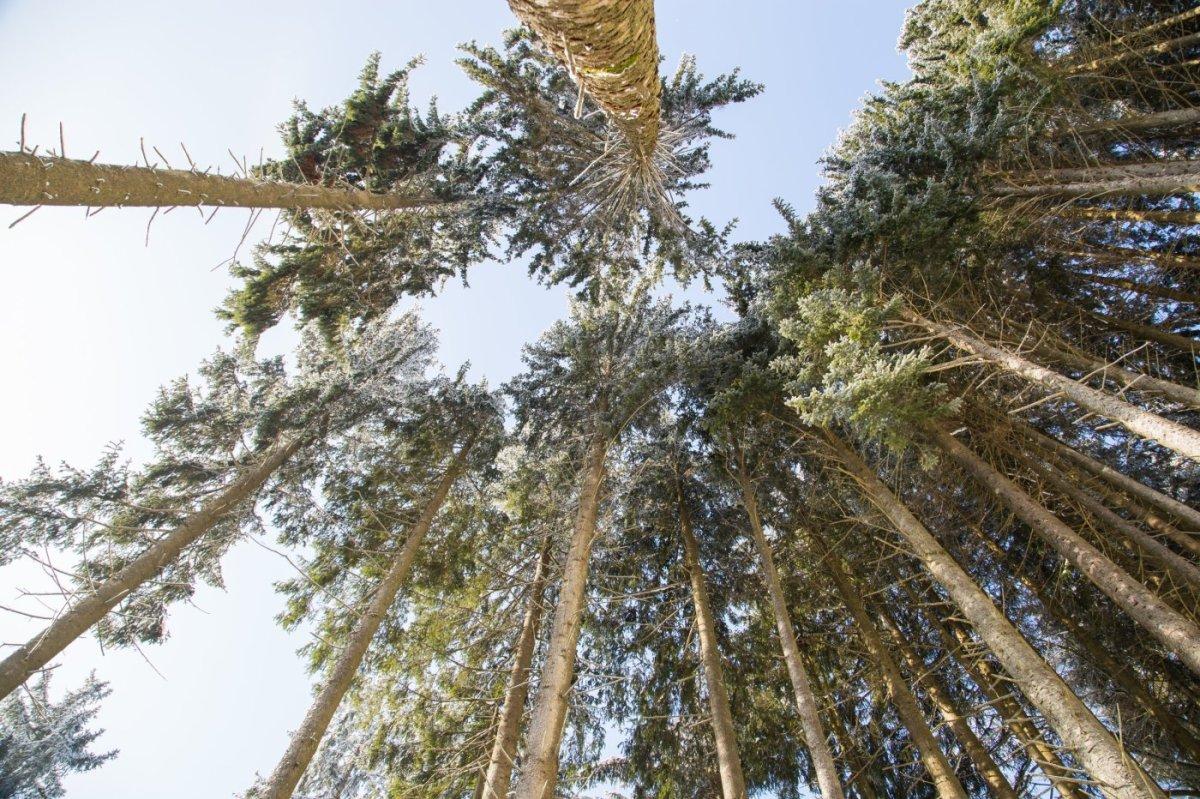 Blick von der Waldängematte auf vereiste Baumwipfel