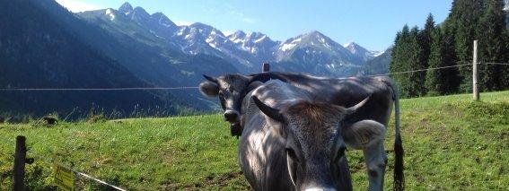 Kühe im Stillachtal