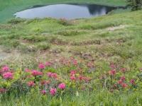 Alpenrosenblüte am Hörnlesee