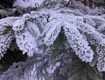Winterliche Fichte