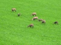 Natur pur: Wilde Gemsen im Feld hinterm Haus