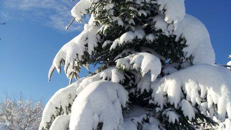 Tanne im Winter