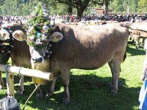 Kranzkuh beim Viehscheid