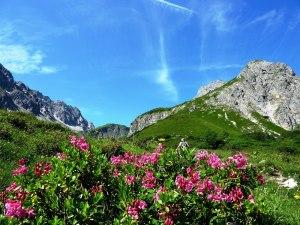 Alpenrosenblüte