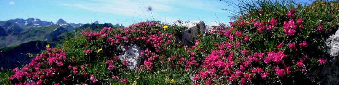Alpenrosenblüte Nebelhorn