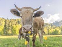 01.06. Wiesen und Kühe-009