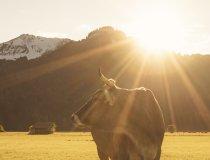 14.10. Wiesen Kühe und Rehe-011
