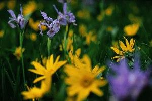 Blumenpracht auf grünen Wiesen.