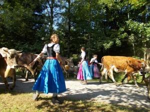 Bunte Tracht und geschmückte Kühe
