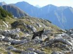 Gemse am Nebelhorn