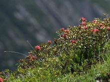 Alpenrosen - eine der faszinierendsten Bergblumen