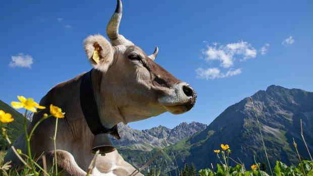 Allgäuer Kuh mit Hörner