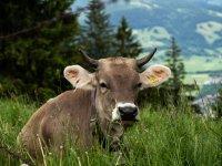 Liegende Kuh
