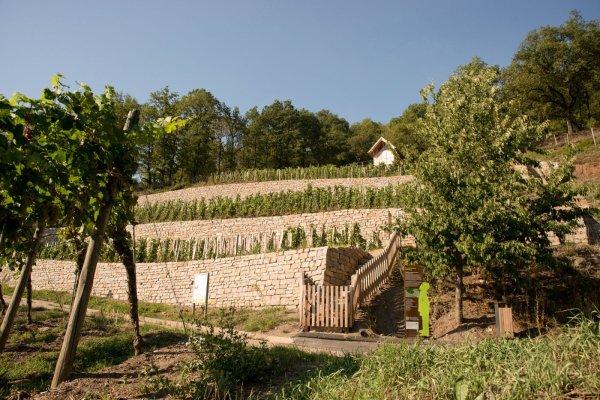 Terrassen und Trockenmauern im Geschichtsweinberg