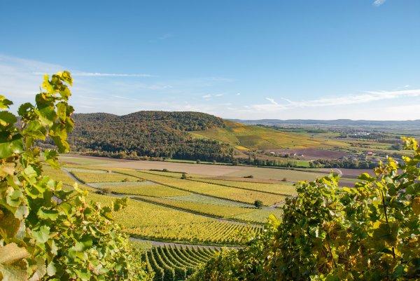Blick auf Weinlage Kalb