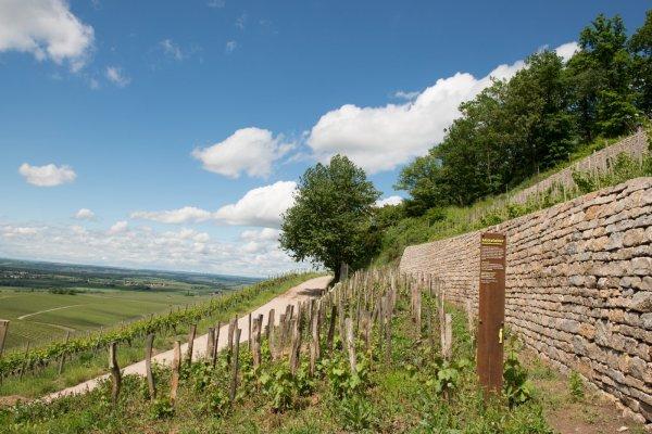 Weinbau wie vor Jahrhunderten – im Geschichtsweinberg
