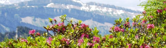 Alpenrosen und Ifen