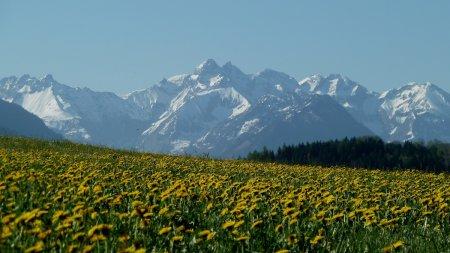 Gelbe Löwenzahlwiesen mit weißen Berggipfeln