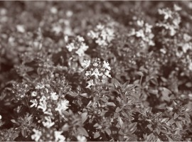 Kümmelthymian gedeiht schon im Frühjahr!