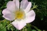 Wildrose - Hagebutte