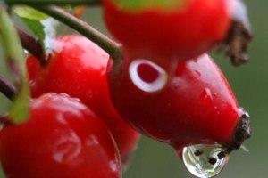 Hagebutten - Frucht