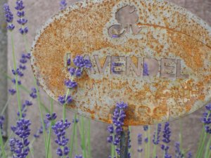 Lavendel in Silvias Kräutergarten