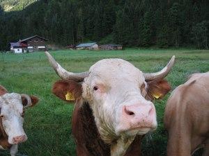 Landwirtschaft mit Kuh
