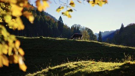 Herbst mit Kuh