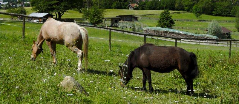 Ponys grasen auf unserer Weide