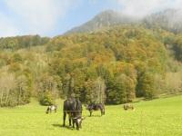 Rinder im Herbst am Haus