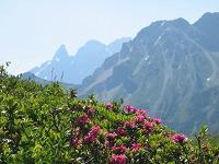 Alpenrosen bei Fellhorn