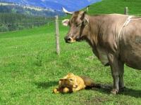 Geburt auf der Weide