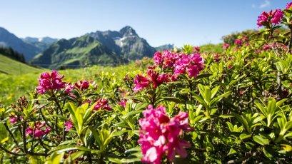 Die Alpenrosen blühen!  Dominik Berchtold (14) (c) Dominik Berchtold - Kleinwalsertal Tourismus eGen